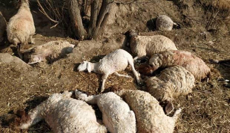 Antalya'da yıldırım 39 koyunu telef etti