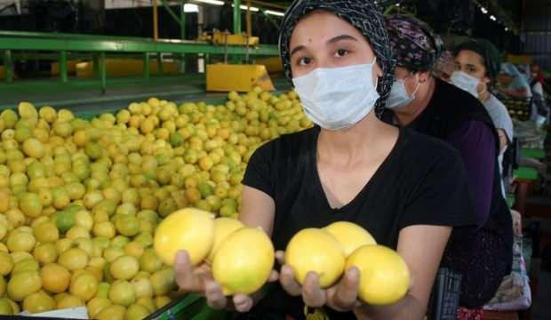 Limon bu yıl altın dönemini yaşayacak