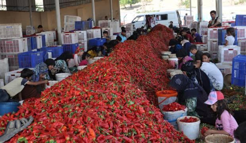 Gaziantep'te üretiliyor, 25 ülkeye ihraç ediliyor! Kırmızı altın diye de bilinen pulbiber...