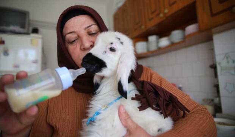 Elazığ'da kanser tedavisi gören 2 çocuk annesi kadına sahiplendiği kuzu terapi oldu!