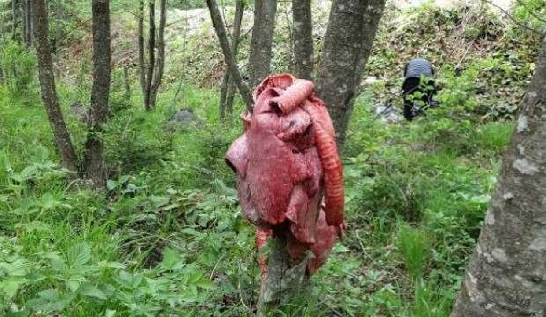 'Ayılar köylere inmesin ' diye ormana 'sakatat' bırakıyorlar