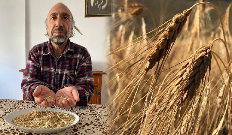 Kars'ın 13 bin yıllık ata tohumu 'kavılca' ekimi yaygınlaşıyor