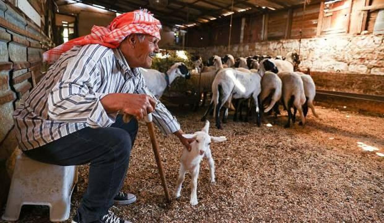 84 yaşındaki Ekrem amca 77 yıldır sakız koyunu yetiştiriyor!