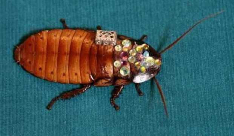 Arama-kurtarma görevlerinde hamam böceği kullanılacak