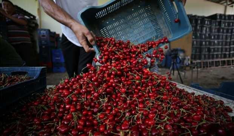 Hobi amaçlı kurduğu meyve bahçesini büyüterek kiraz ihracatına başladı