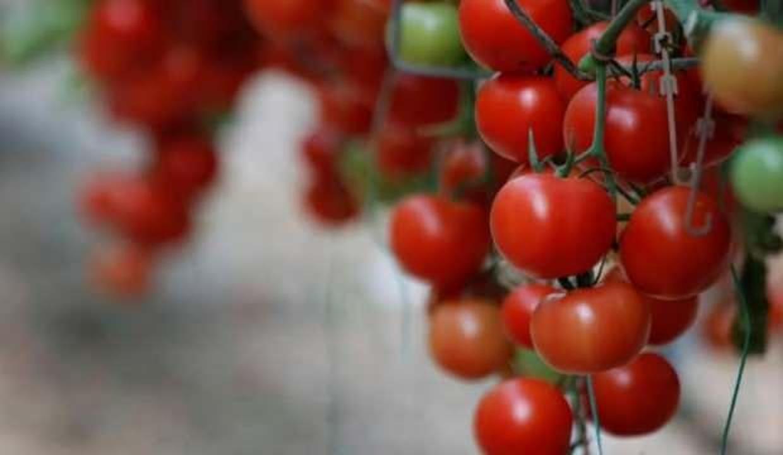 Avrupa'ya giden domatesler ''jeotermal'' ile kızarıyor