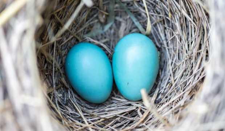 Şifa deposu mavi yumurta çocukların zekasını geliştiriyor!