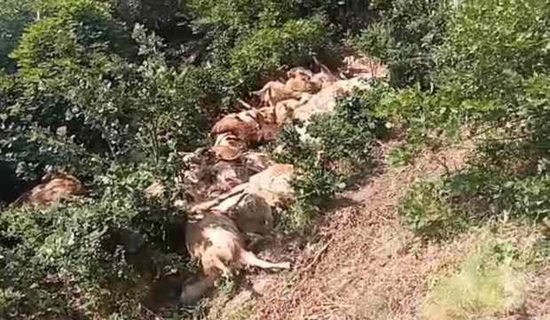 Tunceli'de 80 koyun telef oldu! Sebebi bilinmiyor
