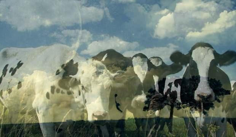 Rüyada sar inek görmek nedir? Rüyada inek kesildiğini görmek neye işarettir?