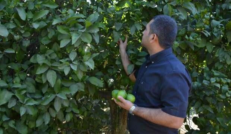 Muğla'da limon üreticisi düşük fiyat nedeni ile zor günler geçiriyor
