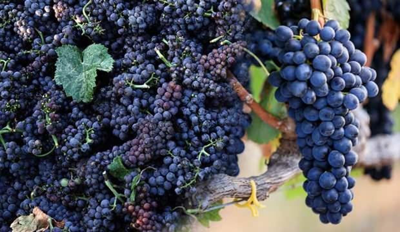 Kokulu siyah üzümün faydaları nelerdir? Kokulu üzümden meyve suyu nasıl yapılır?