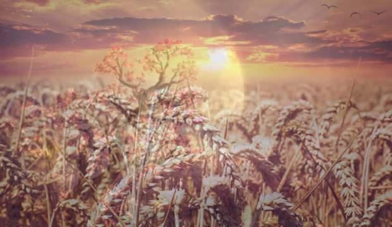 Rüyada buğday tanesi görmek ne demek? Rüyada buğday çuvalı görmek neye işaret eder?