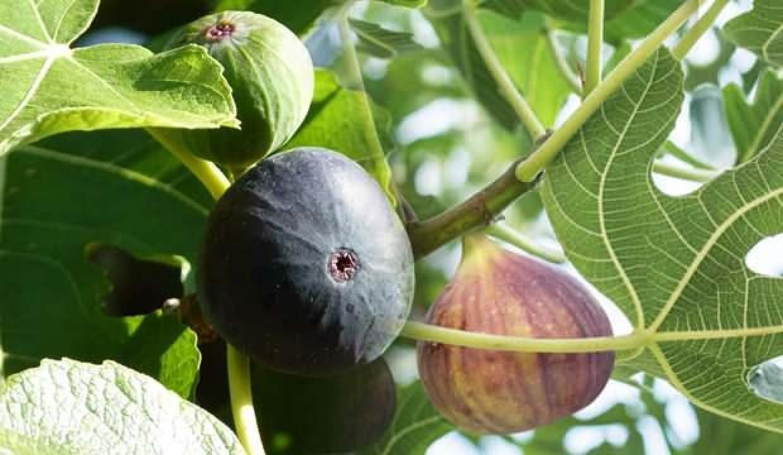 Rüyada incir toplamak ne demek? Rüyada incir ağacı görmek ne anlama gelir?